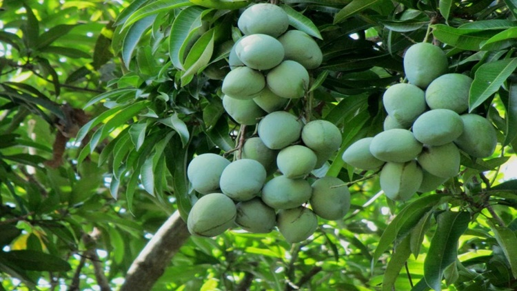 Indian Mango Benefits